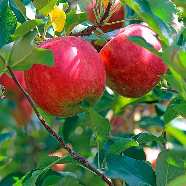 Apfelgelee-mit-Preiselbeeren-und-Kren-3